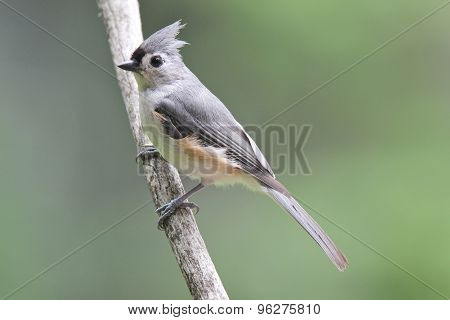 Summer Tufted Titmouse