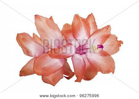Peach And Mauve Flower Of The Zygocactus Plant