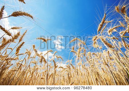 Ripe wheat plants on a sunny day