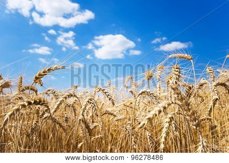 Ripe wheat field close up shot on a clear and sunny day