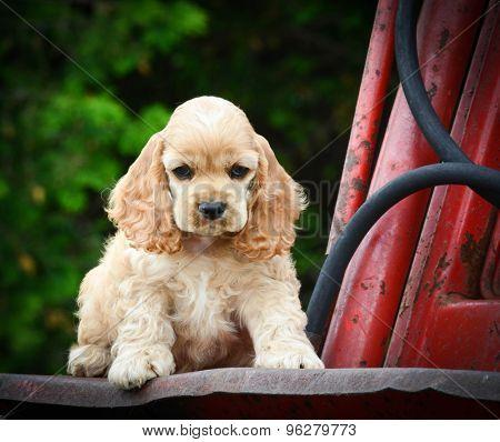 cute puppy sitting on rusty tractor - american cocker spaniel