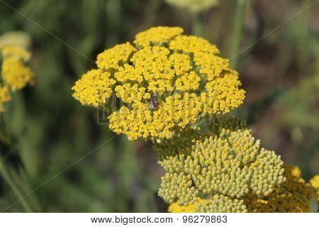 Yellow flowering yarrow (Achillea millefolium).
