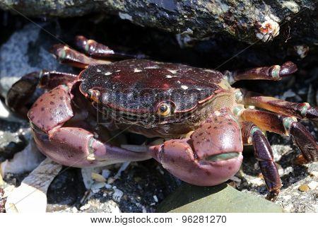 Purple Shore Crab - Hemigrapsus nudus