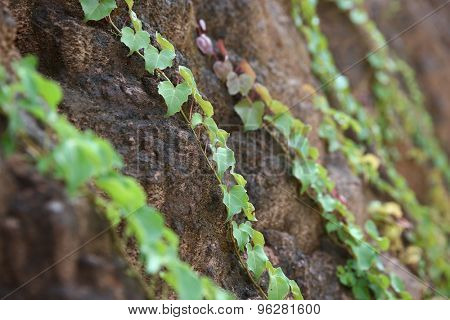Ivy grows in the mud