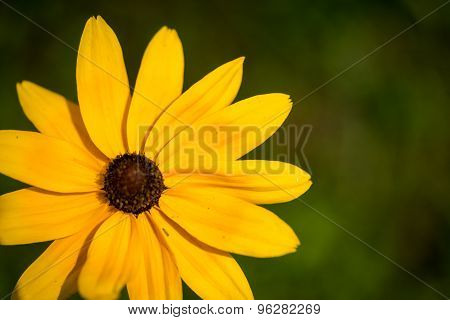 Yellow Black-eyed Susan Wildflower Close Up