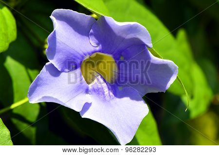 Thunbergia BLUE GLORY Blue Trumpet vine