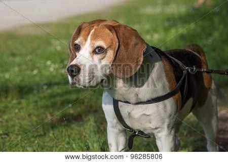 Beagle dog looking straight