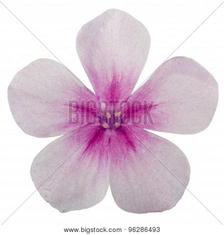 Flower Of Phlox, Isolated On A White Background