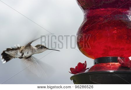 Humming Bird flying to the Feeder