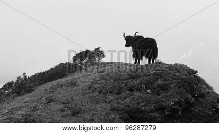 Yak Standing On Top Of A Hill