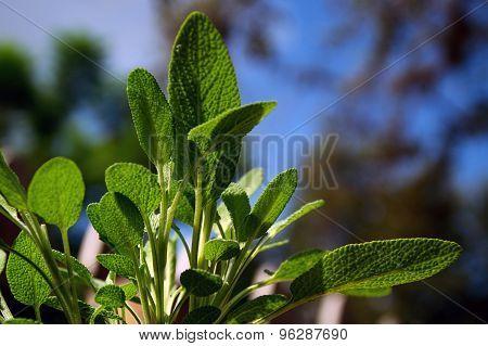 Garden Sage Plant