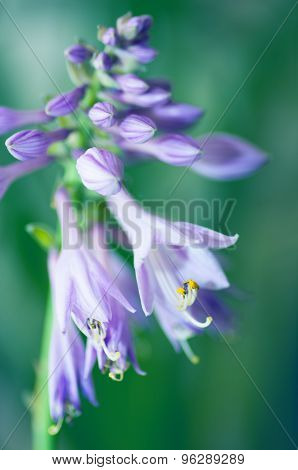 Beautiful Flower Hosta