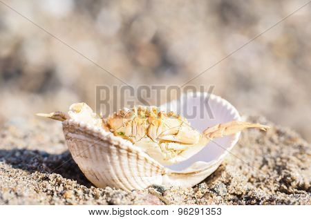 Closeup Of A Crab Hiding In A Empty White Clam In Sand