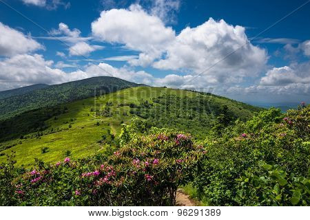 Roan Mountain Spring Rhododenron Blooms 4