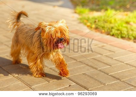 vector cute pedigreed dog Yorkshire terrier