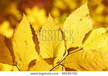 Autumn yellow leaves background in sunny day