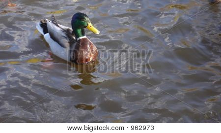 Mallard Duck And Water
