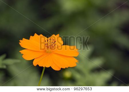 Orenage Cosmos Flower