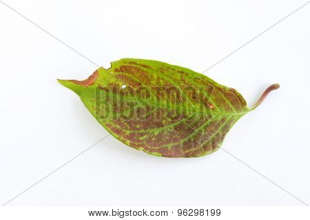 Green And Red Falling Leaf