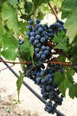 picture of grape  - Wine grapes handing on a vine surrounded by grape leaves - JPG