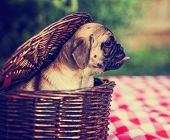 foto of licking  - a cute baby pug chihuahua mix puppy looking out of a wicker picnic basket and licking her face during summer toned with a retro vintage instagram filter app or action effect - JPG