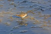 image of wetland  - Semipalmated Sandpiper Wandering in a salt water wetland on Santa Cruz Island in the Galapagos - JPG