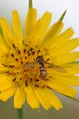 picture of mimicry  - Hoverfly - JPG