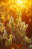 picture of willow  - blooming willow branches at sunset - JPG