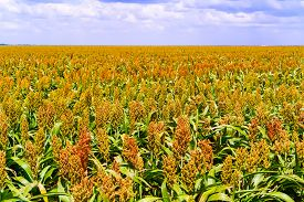 image of sorghum  - Sorghum common name for maize - JPG