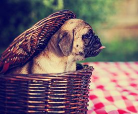 picture of chug  - a cute baby pug chihuahua mix puppy looking out of a wicker picnic basket and licking her face during summer toned with a retro vintage instagram filter app or action effect - JPG