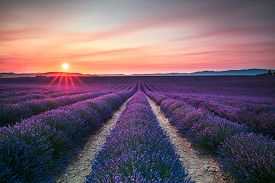 stock photo of plateau  - Lavender flower blooming scented fields in endless rows on sunset - JPG