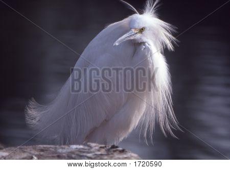 Snowyegret