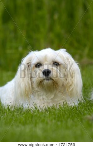White Dog On Grass