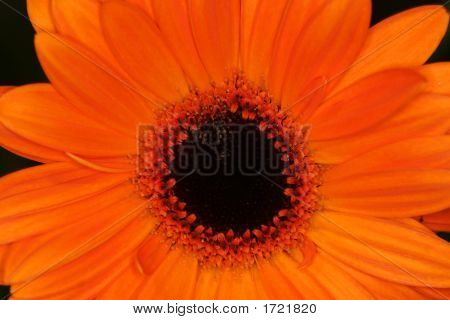 Orange Macro Gerbera Flower