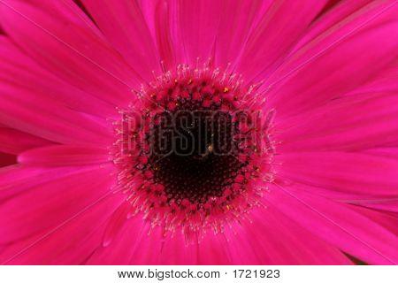 Pink Macro Gerber