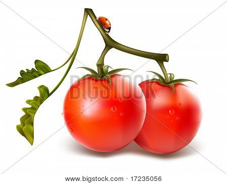 Ripe fresh tomatos with water drops and ladybugs