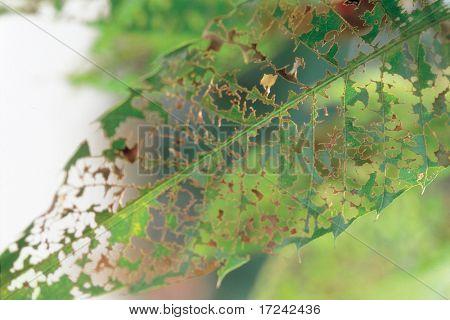 wormy leaf