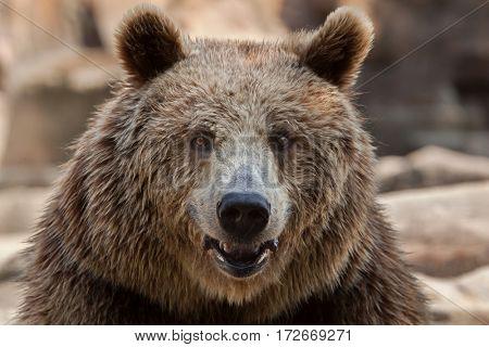 poster of Eurasian brown bear (Ursus arctos arctos), also known as the European brown bear.