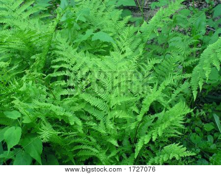 Forest Garden Ferns