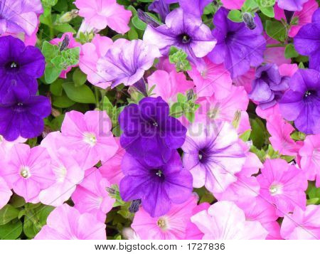 A cluster of petunias