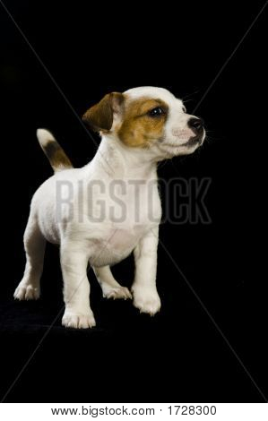 .Jack Russell Growling