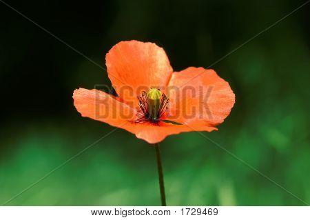 Amapola roja