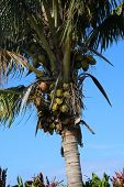 Coconuts. Coconut Palm Tree. coconut palm. palm tree poster