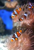 "stock photo of coral reefs  - The clown fish also known as ""Nemo"" feeding on a pink anenome on coral reef. Great DOF focused on foreground fish.