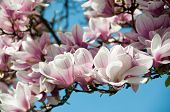 stock photo of saucer magnolia  - Close up of magnolia blossom in full bloom - JPG