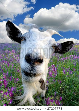 Funny Rural billy goat on the flower meadow