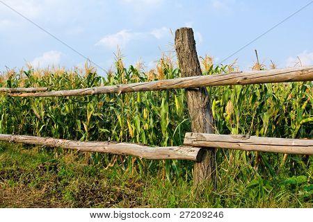 Wiew on wooden fence near corn field