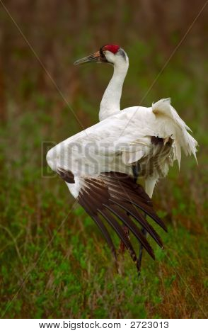Whooping Crane Stretch