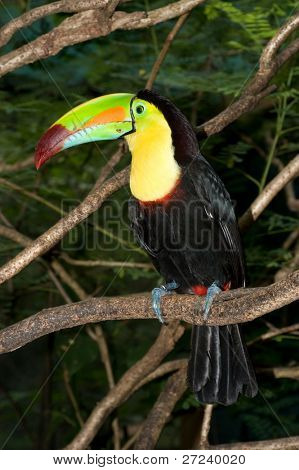 Large toucan sits in a tree with its colorful beak