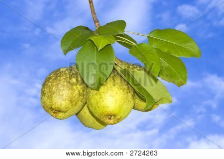 Pears Ready To Be Picked